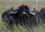 19. März 2015: Wasserbüffel im Tegeler Fließ – die Aktivitäten des NABU im Bezirk